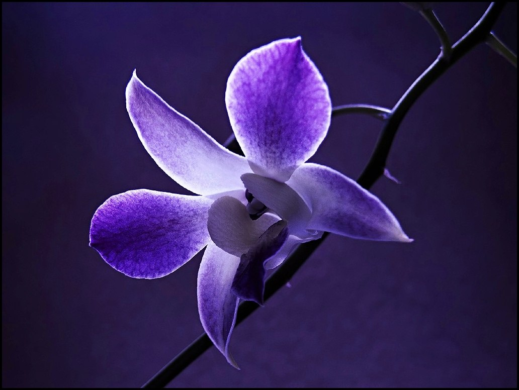 flower wallpaper-Dendrobium_blue